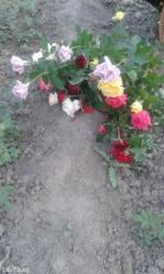 Корни роз. Разных сортов и цветов.Для посадки. в Сокулук