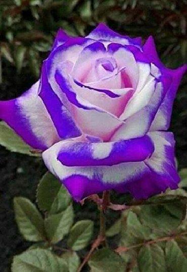 Semena | Arandjelovac: Seme ruže Cena:550din/50semenki