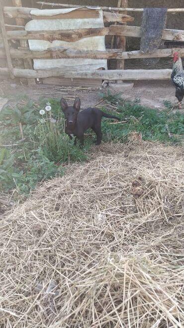 Черная немецкая овчарка Ургачы