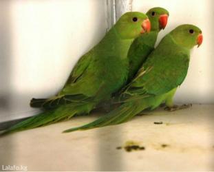 Молодые ожиреловые попугаи для обучения к разговору в Кок-Ой