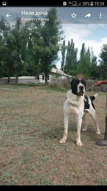 Животные - Михайловка: Продается алабай бойцовый, высота в холке 85см, возраст 3,5года. Тел
