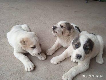 Готовятся к продаже чистокровные щенки САО (Алабай), бронируйте