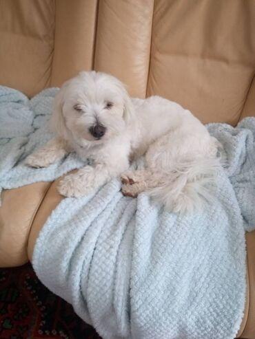 Cachorros Coton De TulearHermosos cachorros de Coton De Tulear listos