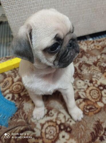 Продаю щенка мопса, девочка,2 месяца,сделана первая прививка, цена
