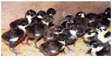 Птенцы румынского фазана для домашнего разведения