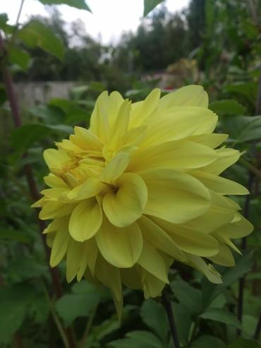 Otaq bitkiləri - İsmayıllı: Georginler satilir.Ciddi sexsler narahat etsin
