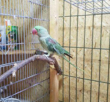 35 объявлений | ЖИВОТНЫЕ: Александрийский попугай,1 год,повторяет много звуков,активный. Вместе