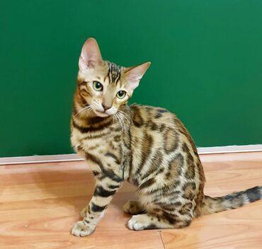 кастрация кота бишкек цена в Кыргызстан: Продам ласковую девочку чистокровную бенгалку с документами. Только в
