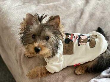 Απόλυτα υγιές Yorkie Puppy για υιοθεσία.Είναι εγγεγραμμένοι και