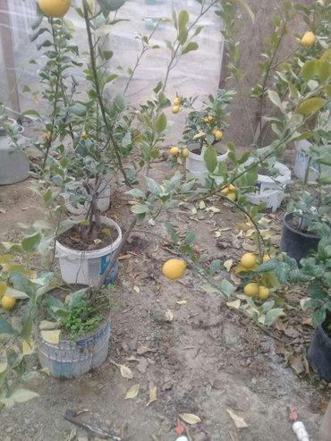 Xırdalan şəhərində ordubad limonu satilir bir dibceyi 50 azn
