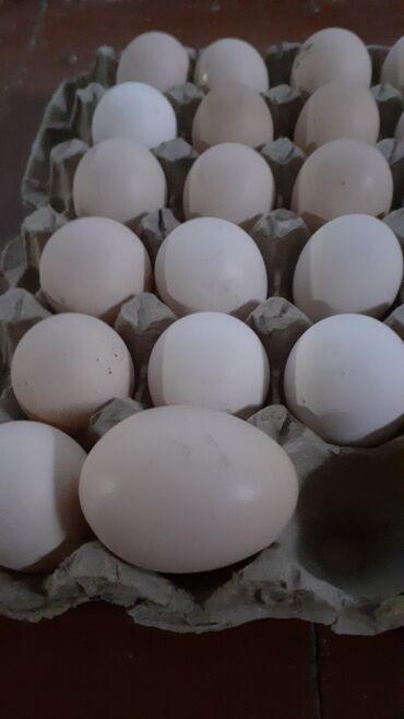 Животные - Бишкек: Продаю дамашные яйцо на инкубатор отлично подойдут