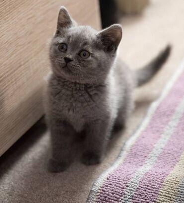 Shorthair γατάκιαΌμορφα βρετανικά μπλε γατάκια Shorthair 3 αγόρια και