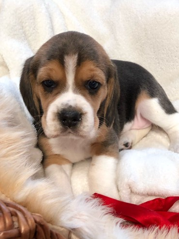 Beautiful Pedigree Beagle Pups Pra Clear σε Epanomi