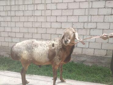Животные - Токмок: Продаю | Баран (самец) | Арашан | Для разведения | Осеменитель