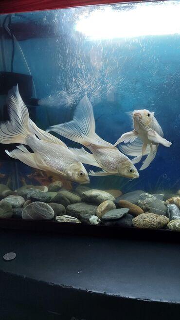 Срочно продаются рыбки.Обращаться по вацапу