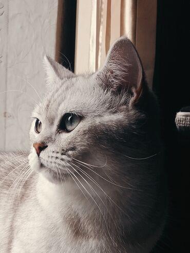 переноска для кошек бишкек in Кыргызстан | ЗООТОВАРЫ: Кот на вязку Скоттиш Страйт окрас серебристая шиншила.Серьёзный кот с