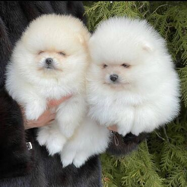 Υγιή κουτάβια Pomeranian προς πώληση μικροτσίπ, ελεγμένο κτηνίατρο