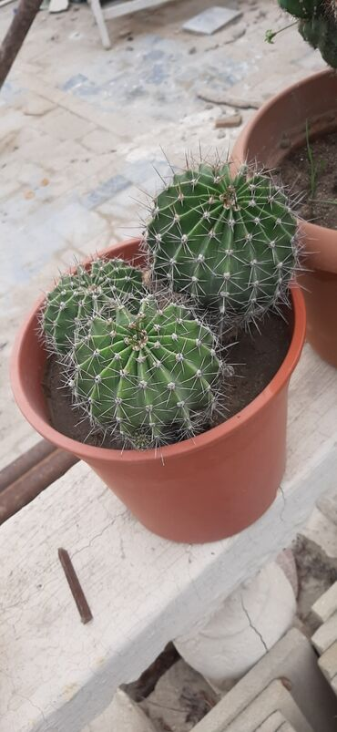 Kaktus - Azərbaycan: Guller bagdadir alan olsa onceden desin getizdirim.Her olcude var ona