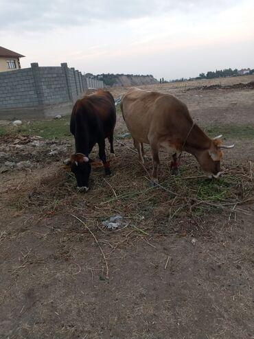 19 объявлений | ЖИВОТНЫЕ: Продаю | Корова (самка) | Алатауская | Для разведения, Для молока | Стельные