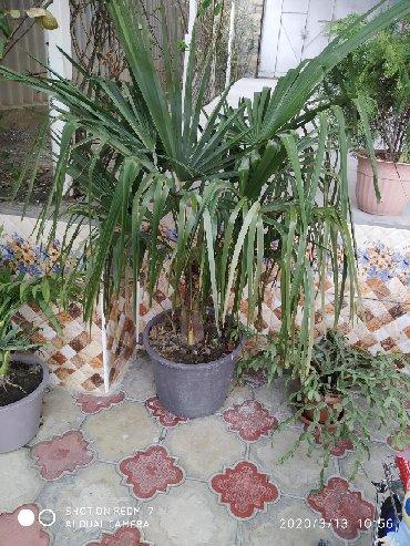 Otaq bitkiləri Şəkida: Palma
