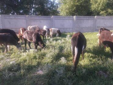 Животные - Бишкек: Продаётся бычки 30 голов возраст от 8 месячных да годовалых цена в