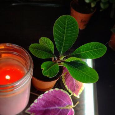 продам волосы бишкек адрес в Кыргызстан: Продаю растения, цена - договорная Молочай, живое дерево, аихризон, ма