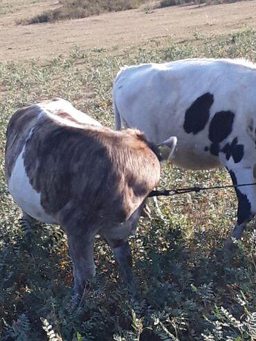 Животные - Заречное: Телки породистые от Российских коров симментал шесть семь месяцев три
