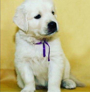 Продаются щенки голден ретривер!!! в Лебединовка
