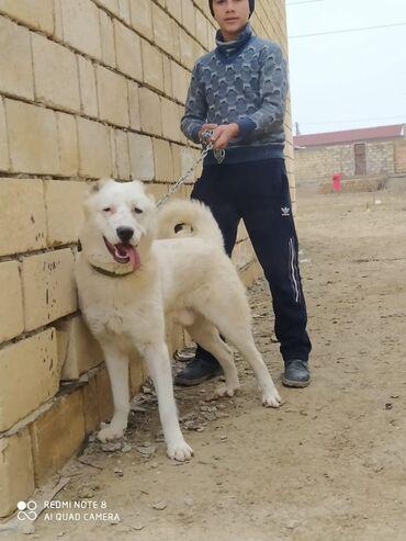 Животные - Ширван: Собаки