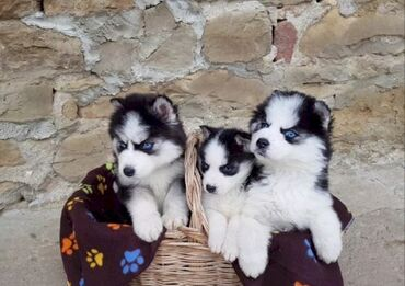 Σιβηρικά γεροδεμένα κουτάβια προς πώλησηWhatsapp . (+ )Θα κάνουν έναν