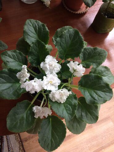 Комнатные растения - Кыргызстан: Продаю фиалки