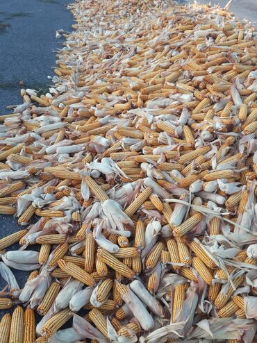Семена и уличные растения - Сокулук: Кукуруза сухой. И под комб 10 с и9'5
