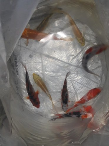 свежемороженая-рыба в Кыргызстан: Карпы-кои осётркорма выбор .есть!!для домашних водоёмов и