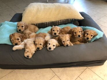 Goldendoodle puppies for sale  Goldendoodle puppies for sale with all