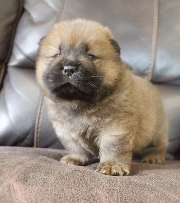 Chow chow Puppies Stunning Chow chow Puppies for sale We have lovely