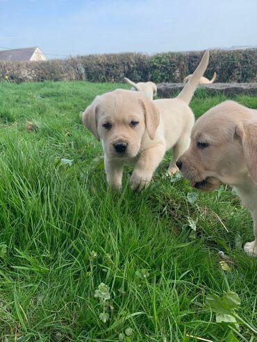 Κουτάβια Labrador Retriever για υιοθεσία με όλα τα χαρτιά και τα
