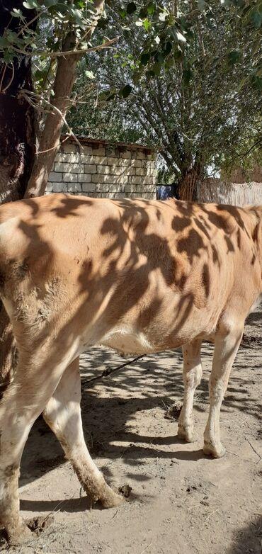 31 elan | HEYVANLAR: Salam kök dişi dana 90 kilodan yuxarı əti var. Kəsgi ilə verirəm kilos