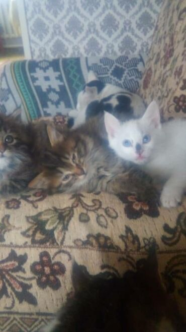 котенок в Кыргызстан: Белый котенокмальчик