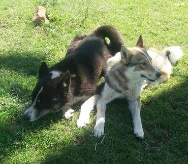 Лайки щенки бронь чистые через 15 дней ощеница отец и мать рабочие
