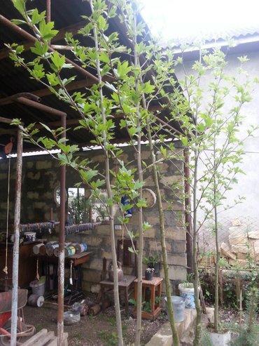 Дом и сад в Астара: Xan çinari dibceyde 3 metr boyu var 25 azn
