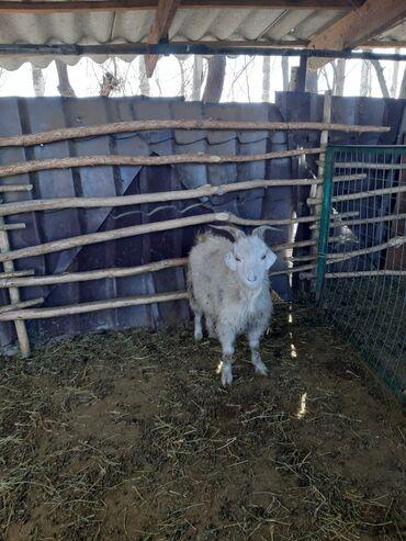 Продаю | Овца (самка) | Для разведения | Ярка