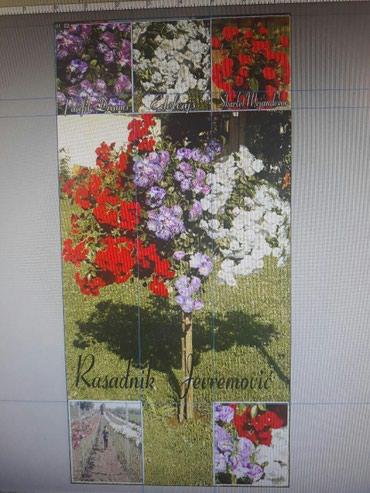Trobojne i dvobojne sadnice padajuće forme ruža stablašica za samo - Belgrade
