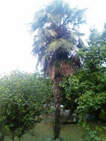 10 illik palma ağacıdır. Hündürlüyü 10metrdir. Çiçək açır və gözəl