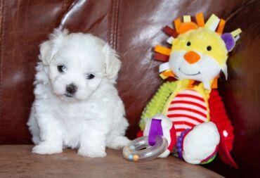 Μαλτέζικα σκυλιά και κουτάβια Ένα κουτάβι KC ήταν εγγεγραμμένο να έρχε
