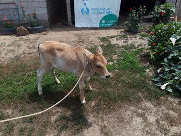 Животные - Чалдавар: Коровы, быки