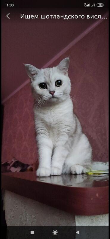 ищу кошку в Кыргызстан: Куплю кошку такой породы