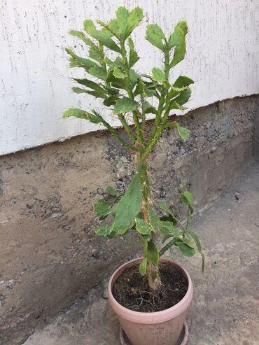 Кактус - Кыргызстан: 300с кактус