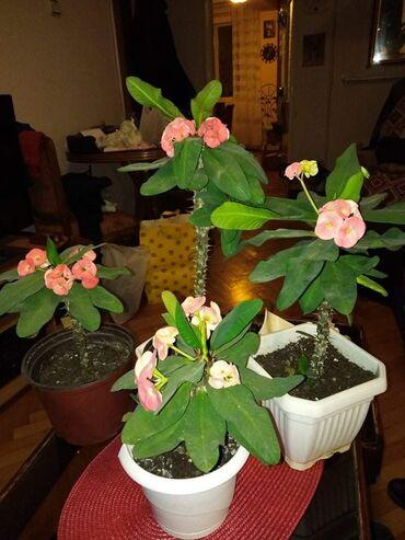 Hristov trn, crveni cvet, krupni