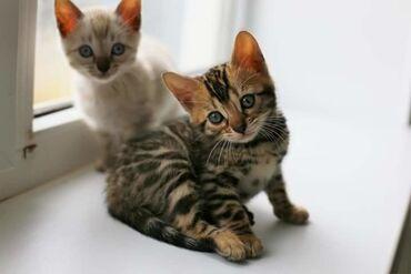 Котятки Бенгалятки .Заведите себе друга. Эта порода кошек не заставит