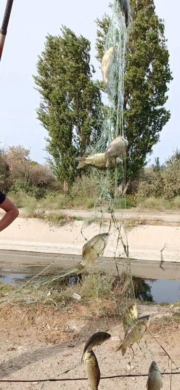 tolstolob baligi - Azərbaycan: Karp karaz balığı. dadı Cox süperdi. Lil palciq dadı qetiyyen gelmir